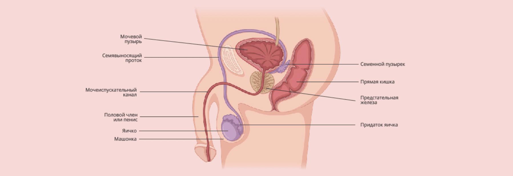 Сперма и как она образуется